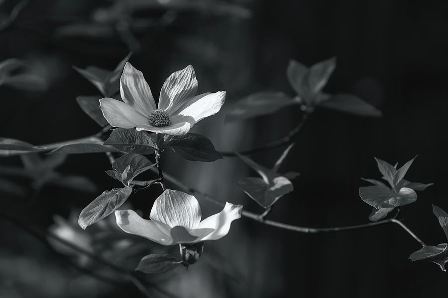 dogwoods bw by Jonathan Nguyen
