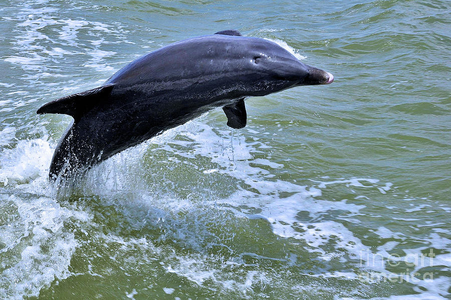 Dolphin Jump by Elaine Manley