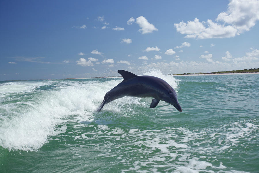 Dolphin Playing Photograph by Ll28