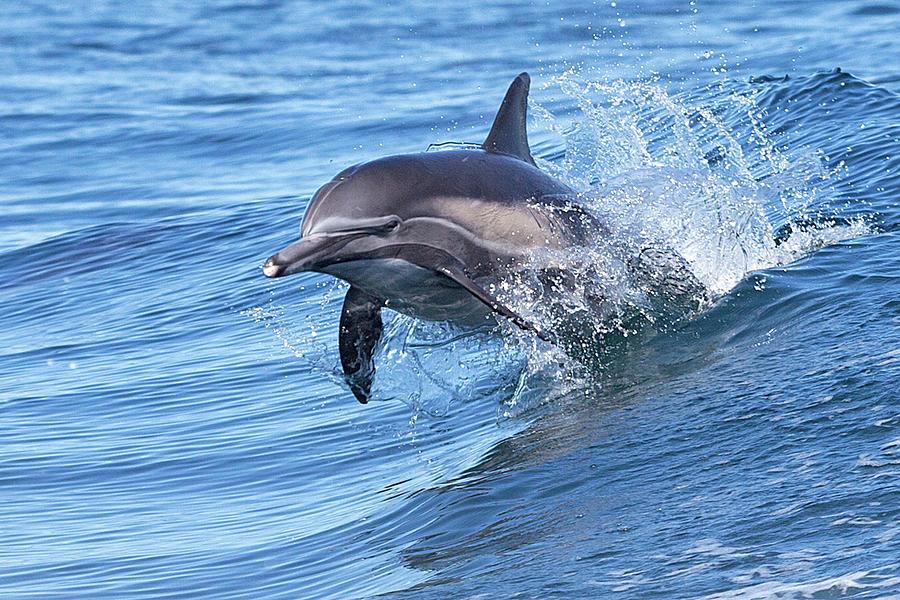 Dolphin Riding Wake Photograph by Greg Boreham (treklightly)