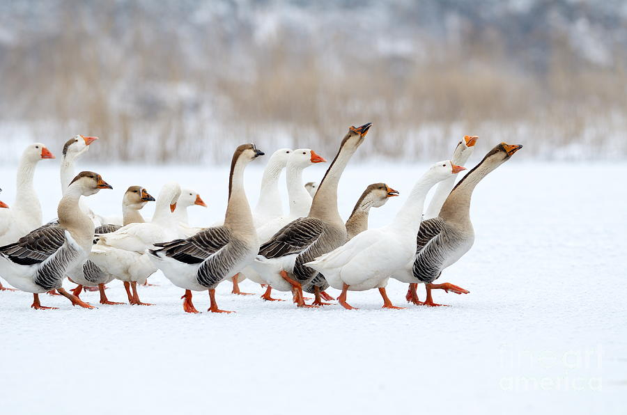 Plumage Photograph - Domestic Geese Outdoor In Winter by Aabeele