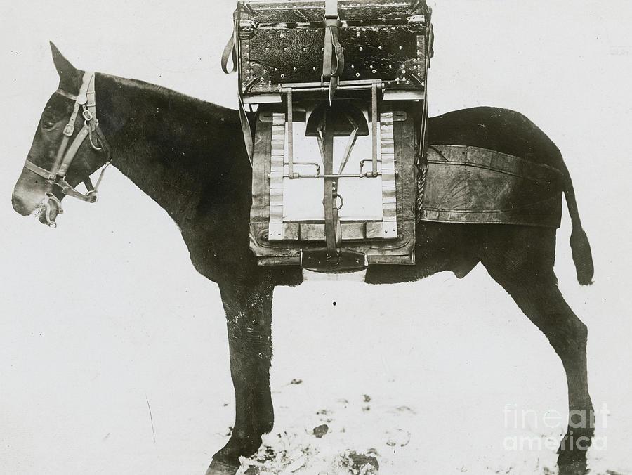 Donkey Carrying Portable Telegraph Photograph by Bettmann