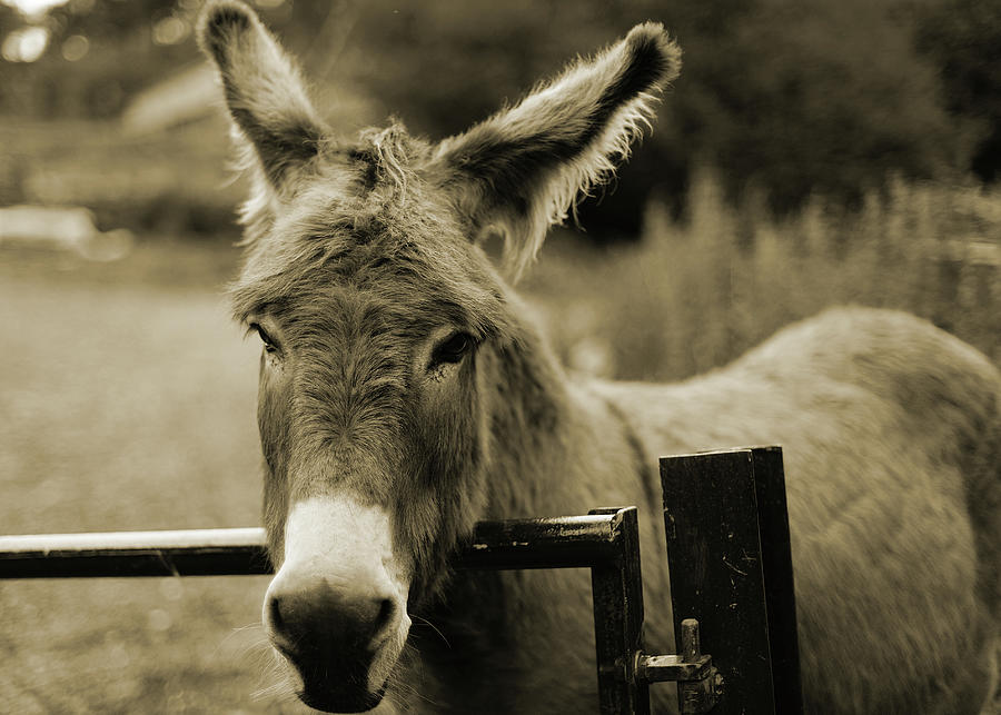Donkey Photograph by Dyker the horse 1976