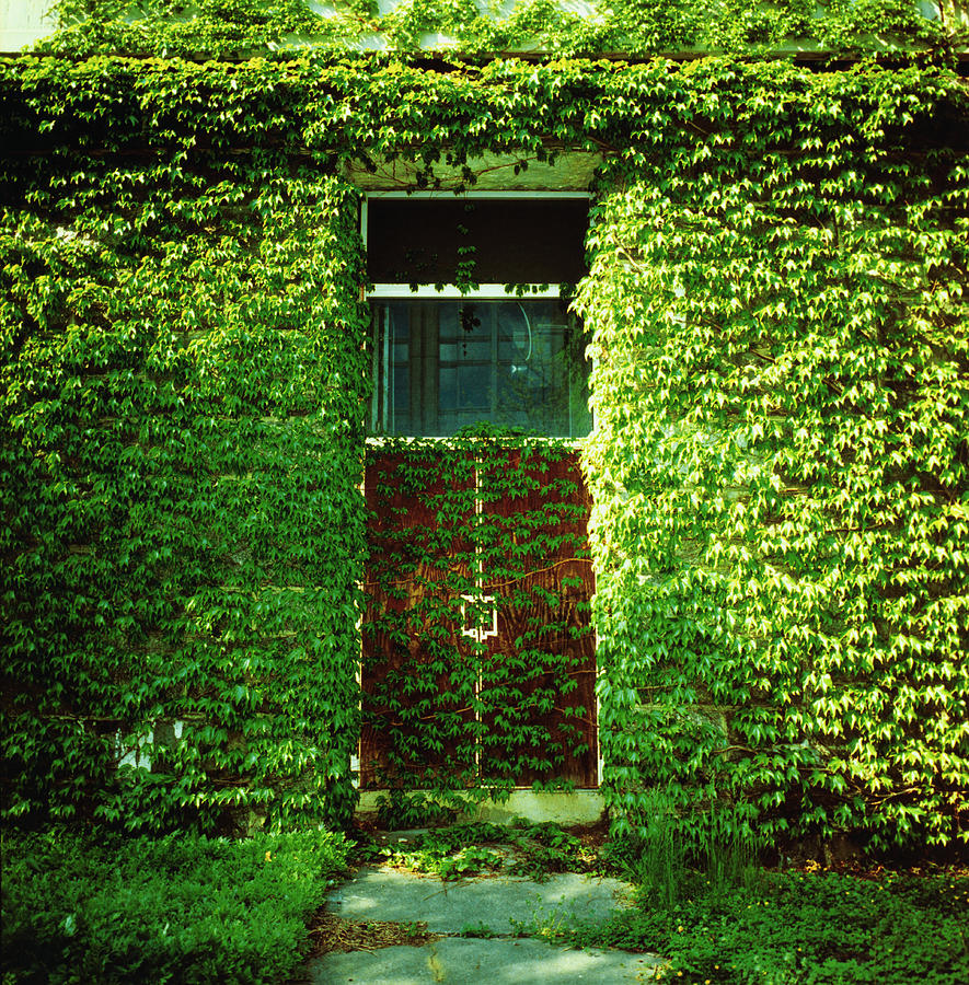 Doors Covered By Ivy Photograph by Silvia Otte