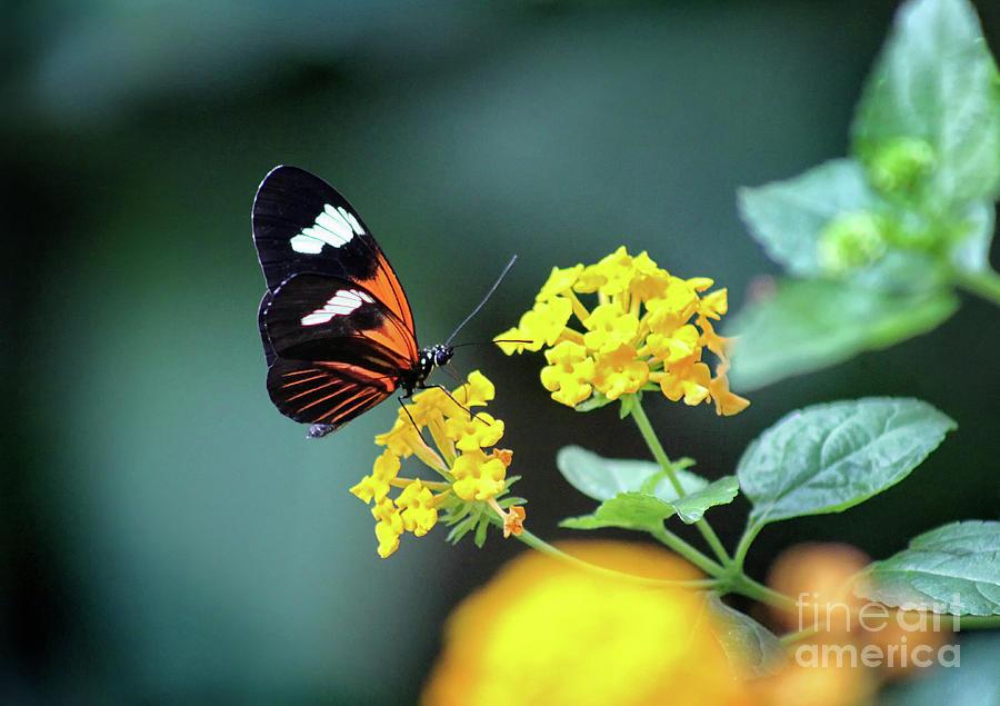 Doris Longwing Photograph - Doris Longwing Butterfly 2019 by Karen Adams