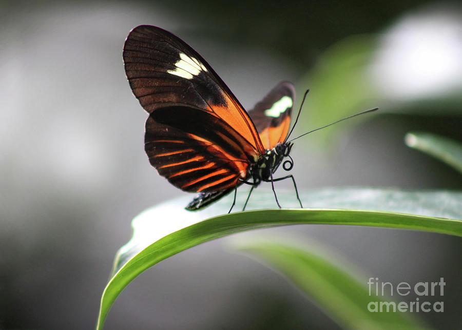 Doris Longwing Photograph - Doris Longwing Butterfly In Shadows 2019 by Karen Adams