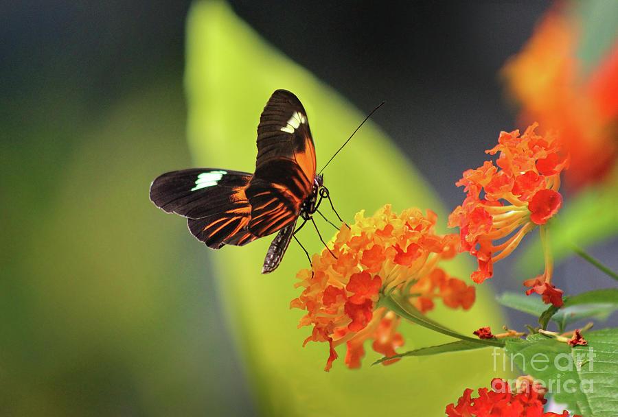 Doris Longwing Photograph - Doris Longwing Butterfly On Lantana by Karen Adams