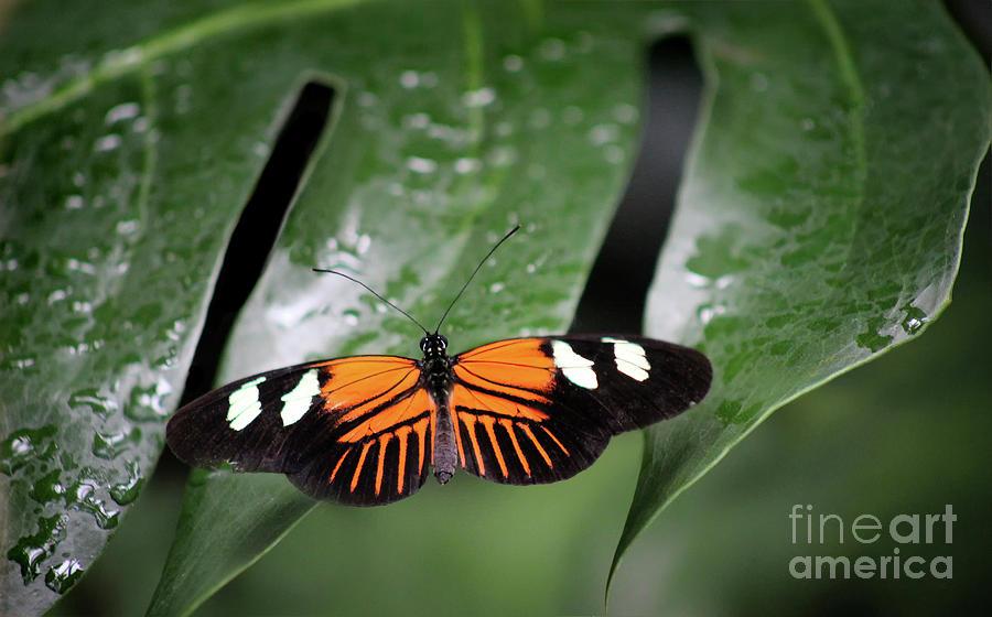 Doris Longwing Photograph - Doris Longwing Butterfly On Leaf by Karen Adams