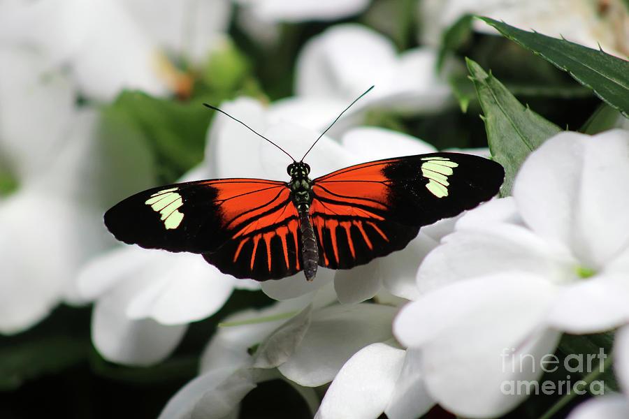 Doris Longwing Photograph - Doris Longwing Butterfly On White Petals by Karen Adams