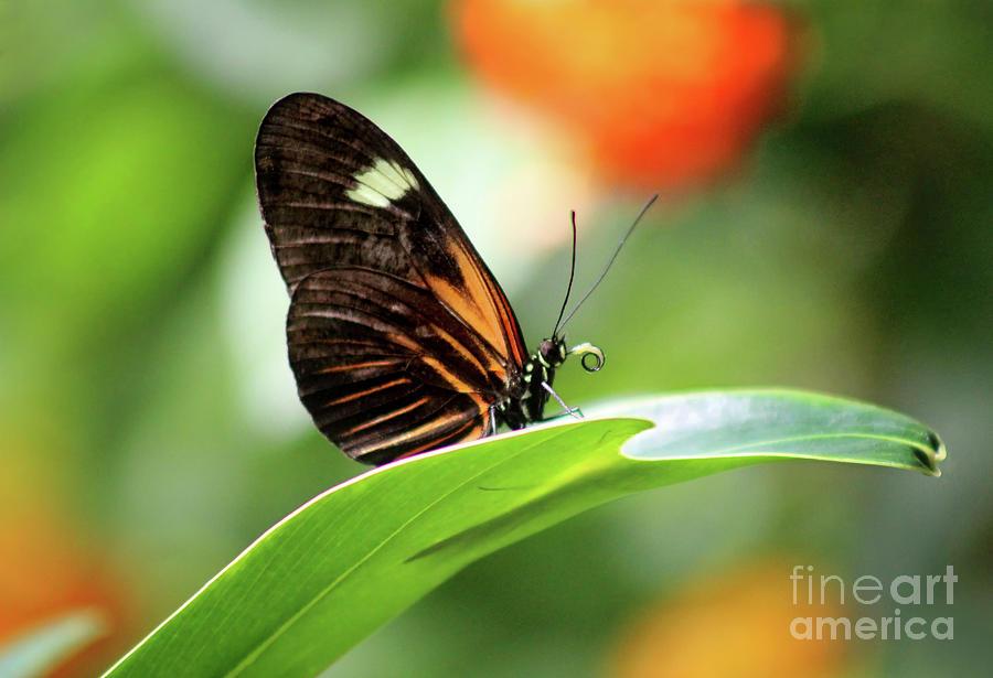 Doris Longwing Butterfly Ventral View by Karen Adams