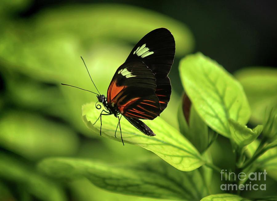 Doris Longwing Photograph - Doris Butterfly On Green 2019 by Karen Adams