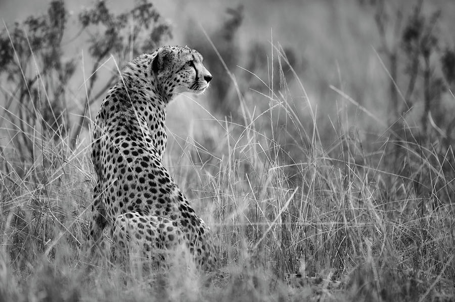 Cheetah Photograph - Dotted Beauty by Mohammed Alnaser