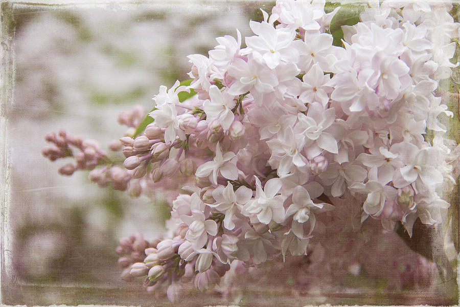 Double Bloom Lilacs by Cindi Ressler
