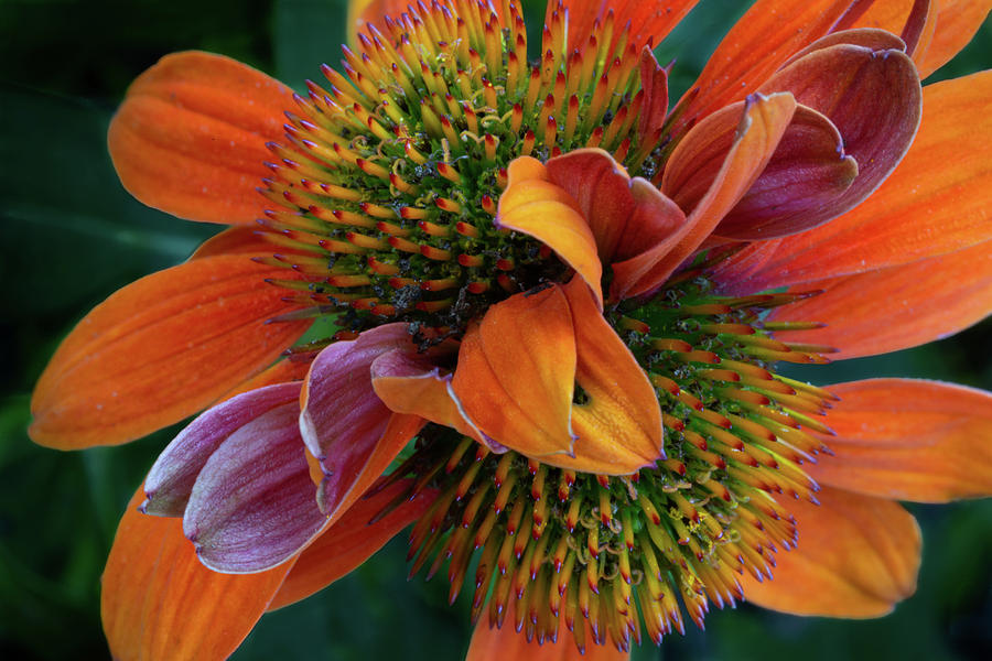 Double Coneflower by Dale Kincaid