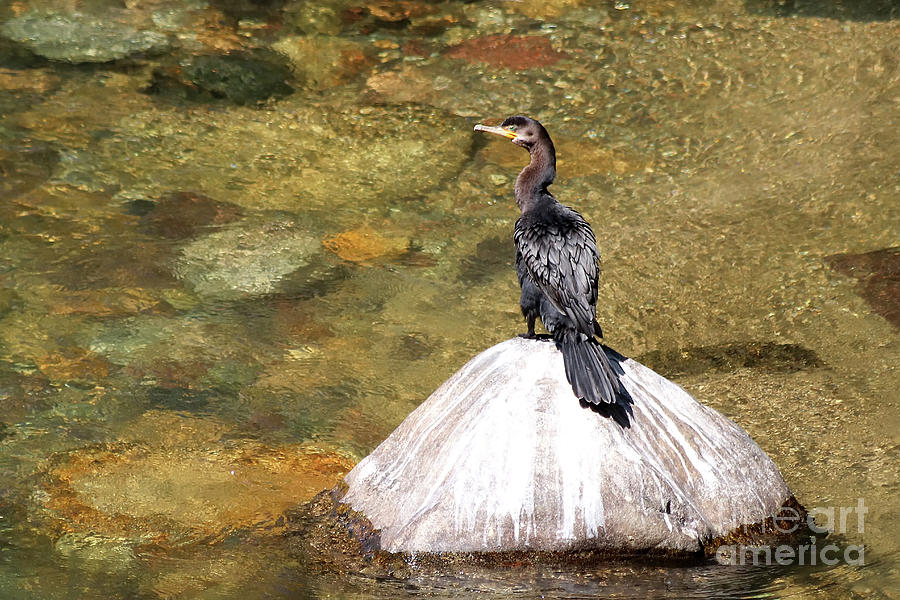 Double-crested Cormorant by Teresa Zieba
