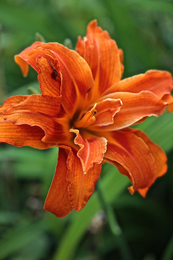 Double Day Lily by Donna Quante