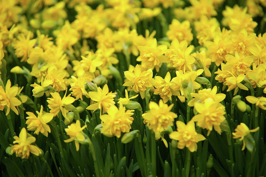Double Flowering Tete Boucle Dwarf Daffodils by Jenny Rainbow