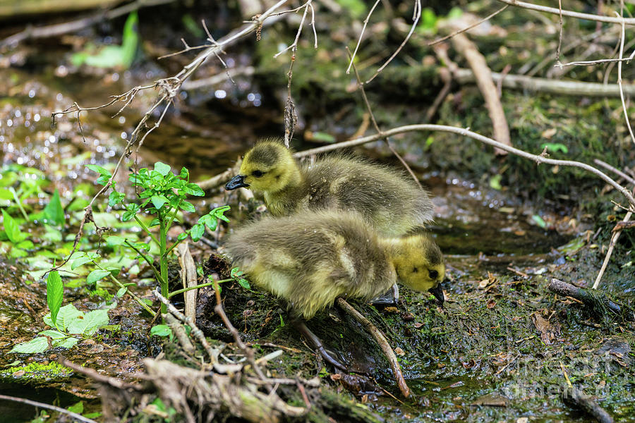 Double Gosling Cuteness by Jennifer White
