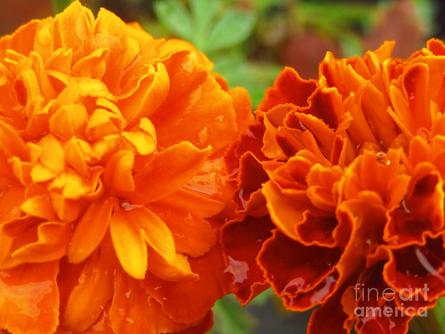 Double Marigold by Robert Knight