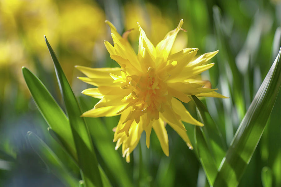 Double Narcissus Rip van Winkle 1 by Jenny Rainbow