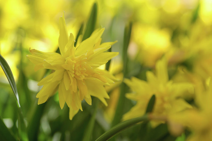 Double Narcissus Rip van Winkle by Jenny Rainbow