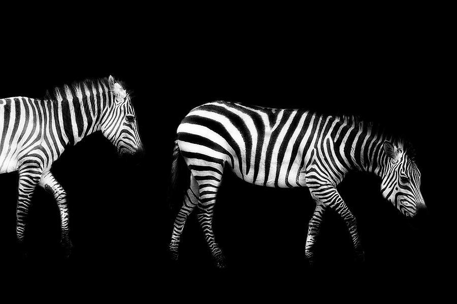 Double Zebra Drama by Kay Brewer