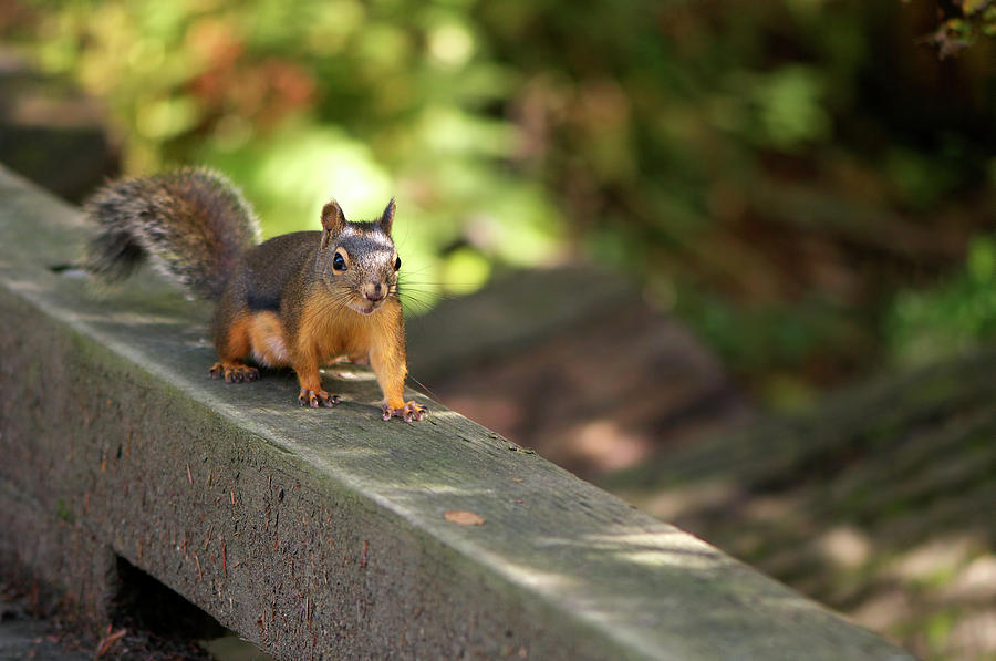 Douglas Squirrel on the Boardwalk by Sharon Talson