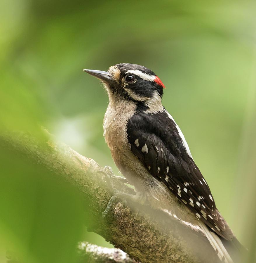 Downy Woodpecker by Angie Vogel