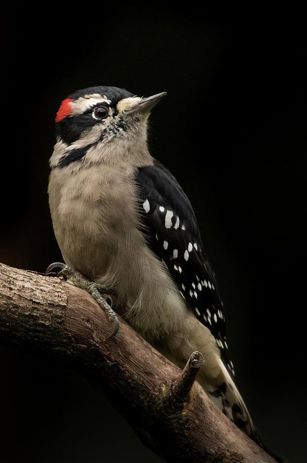 Downy Woodpecker Portrait by Angie Vogel
