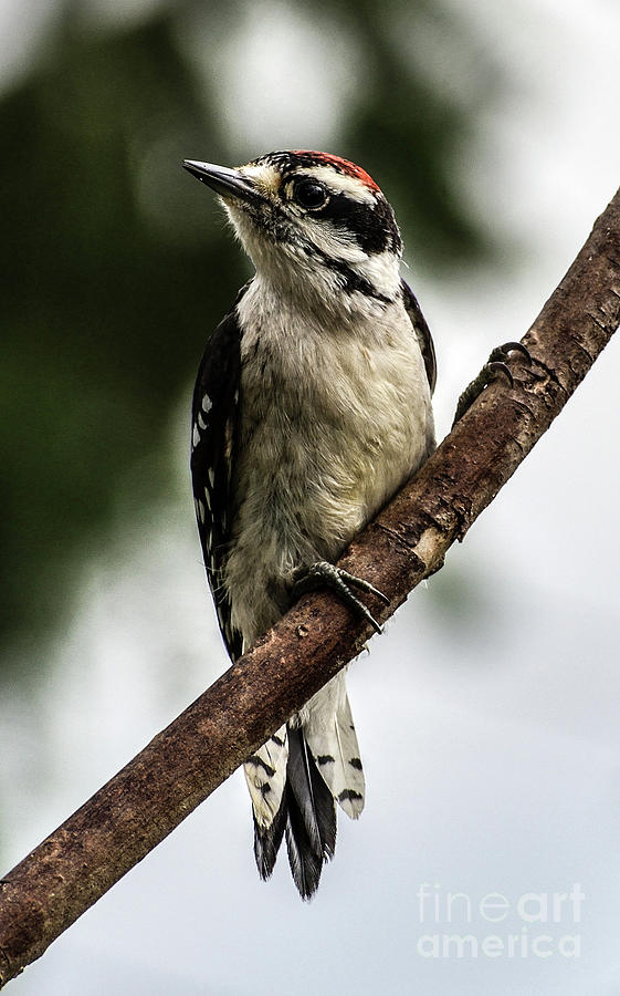 Downy Woodpecker Posing For The Camera Photograph