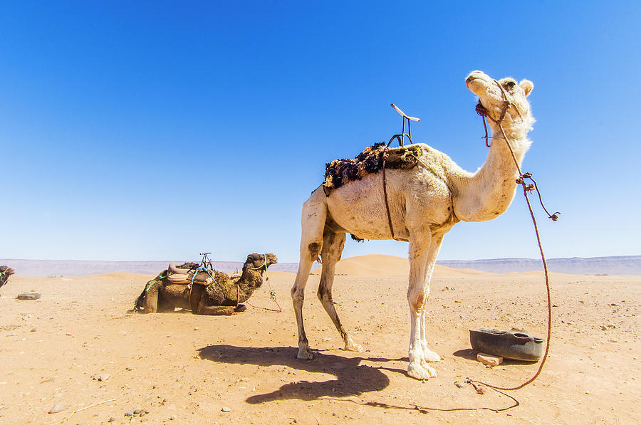 Draa Valley, Camel At Tinfou Photograph by Maremagnum