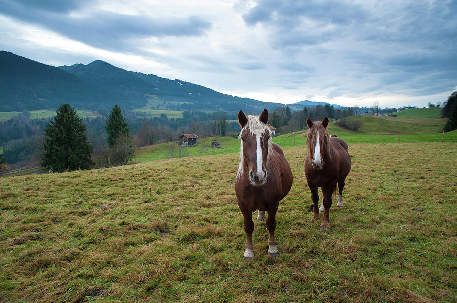Draft Horses Standing In Front Of Photograph by Olaf Broders