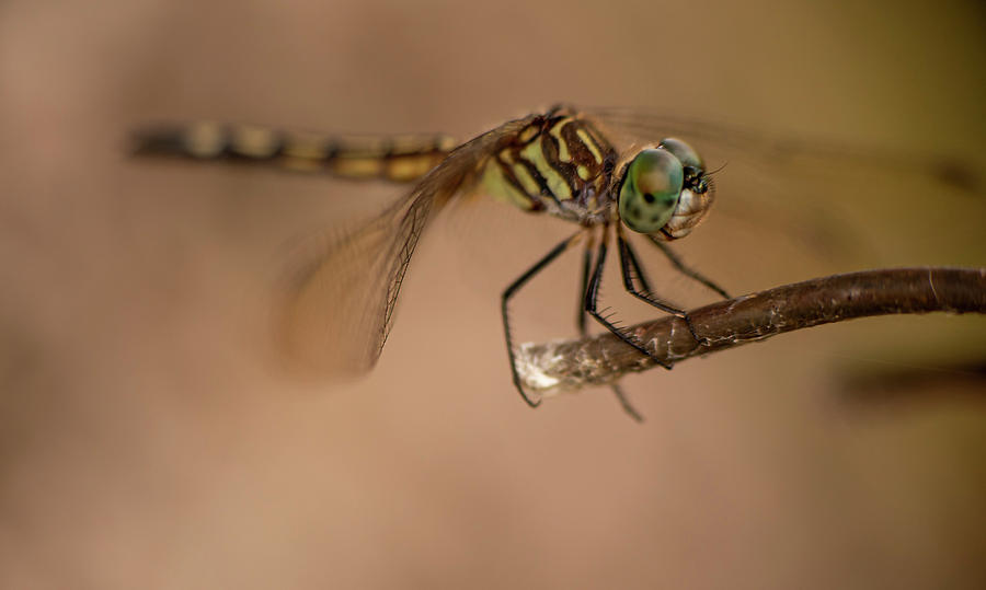 Dragon Fly by Karen Rispin