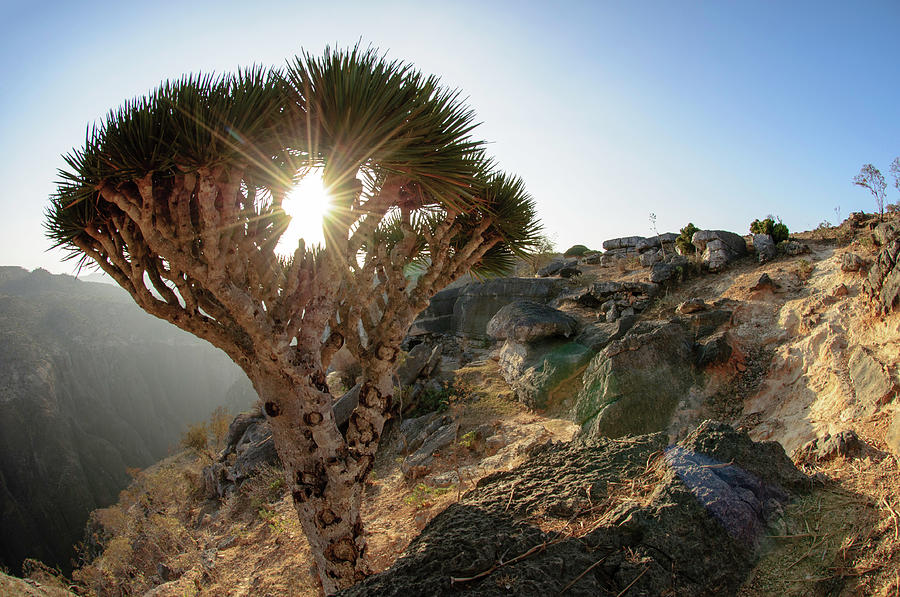Dragonbloodtree Photograph by Mario Eder