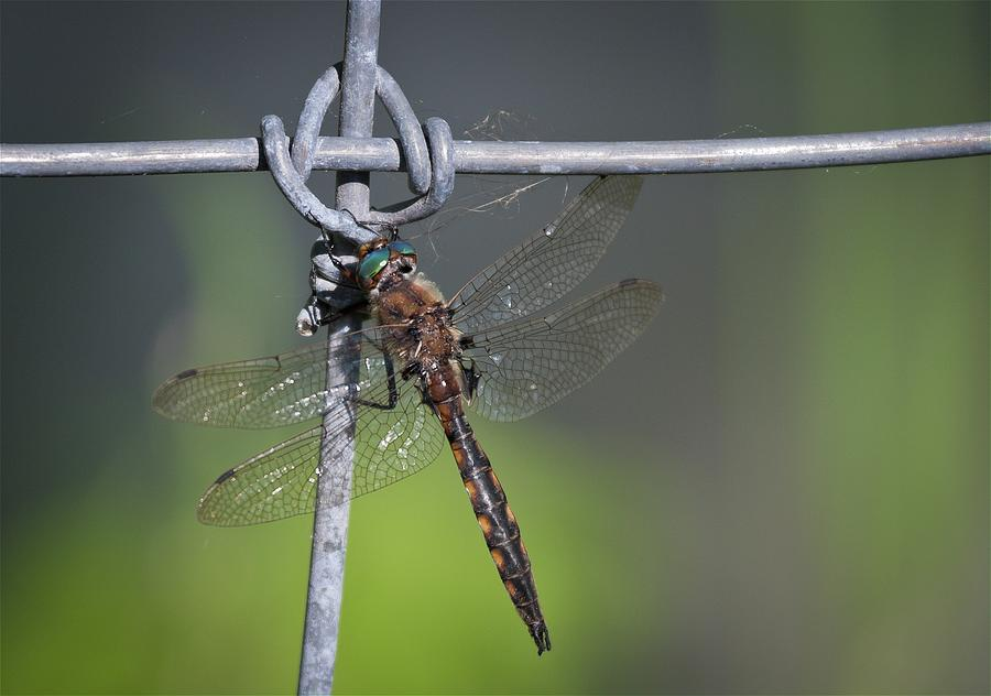 Dragonfly at rest by Tatiana Travelways
