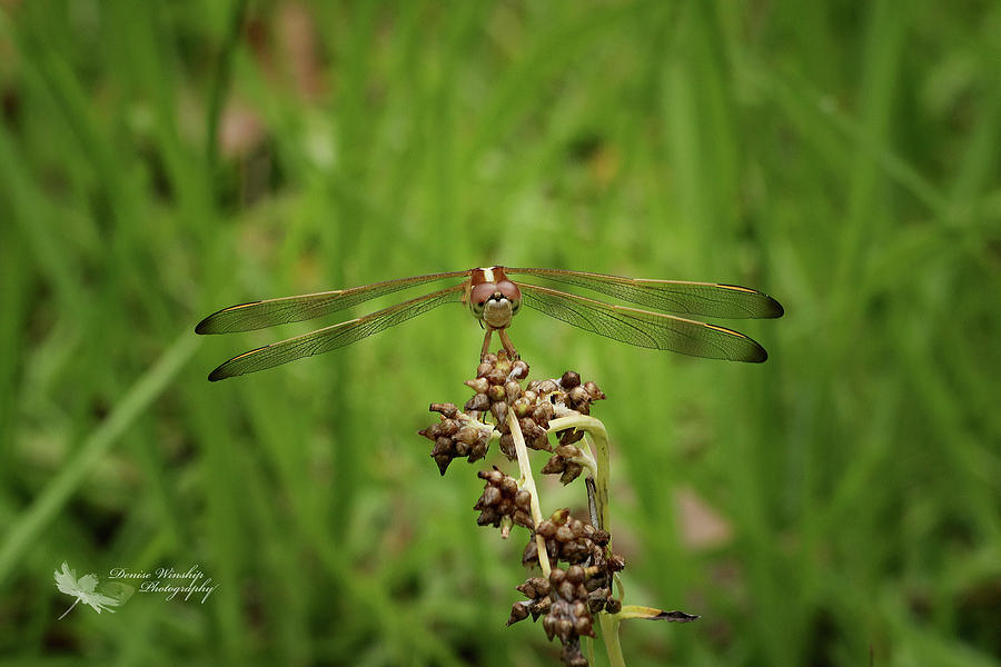 Dragonfly Face Time by Denise Winship