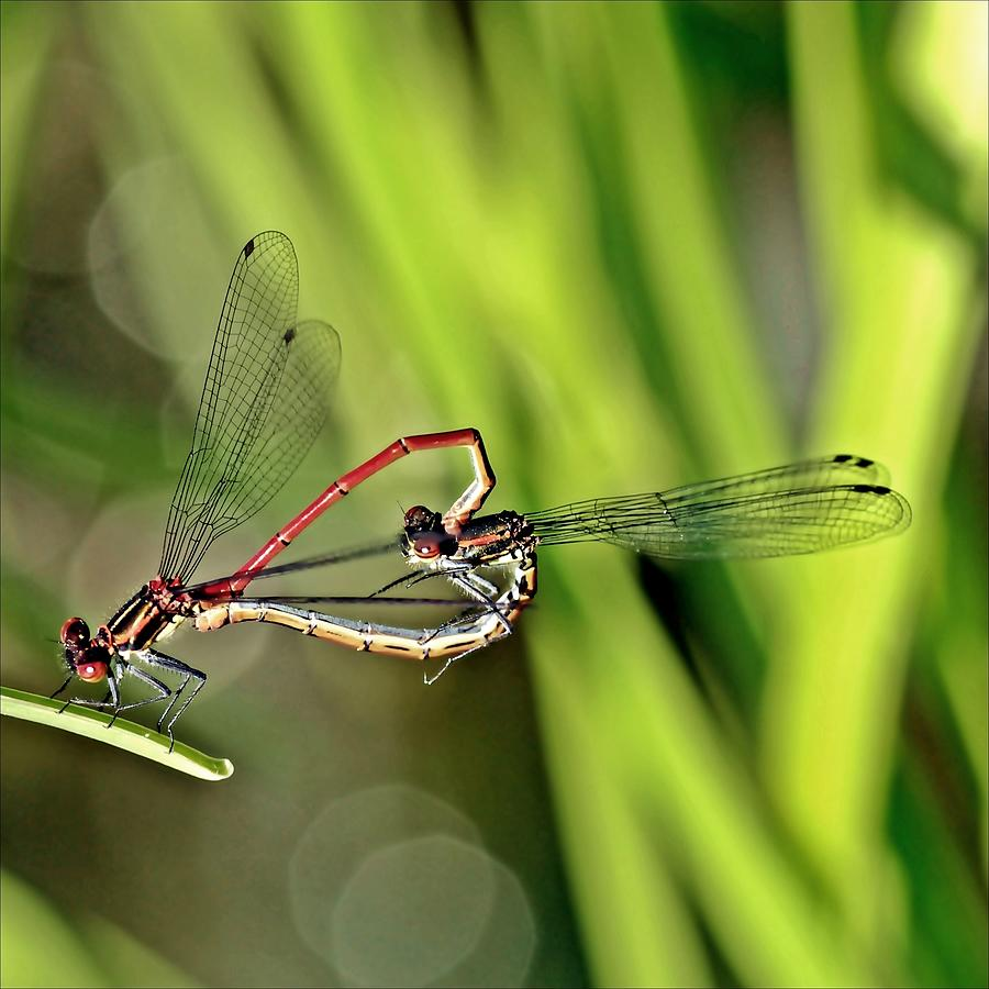 Dragonfly Love Photograph by Soul-images