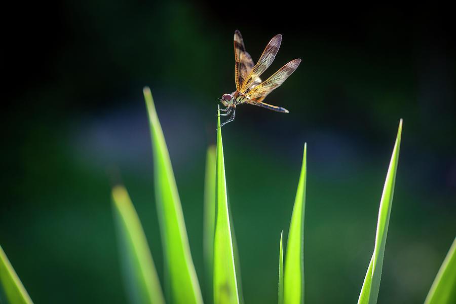 Dragonfly on Dracaena 101 by Rich Franco