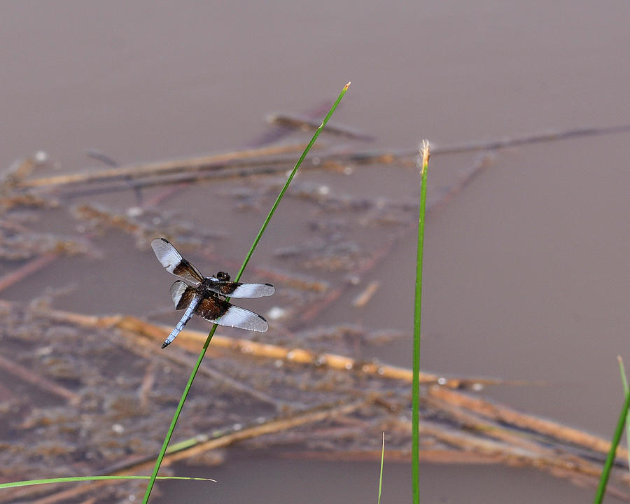 Dragonfly On Grass By Pond Photograph
