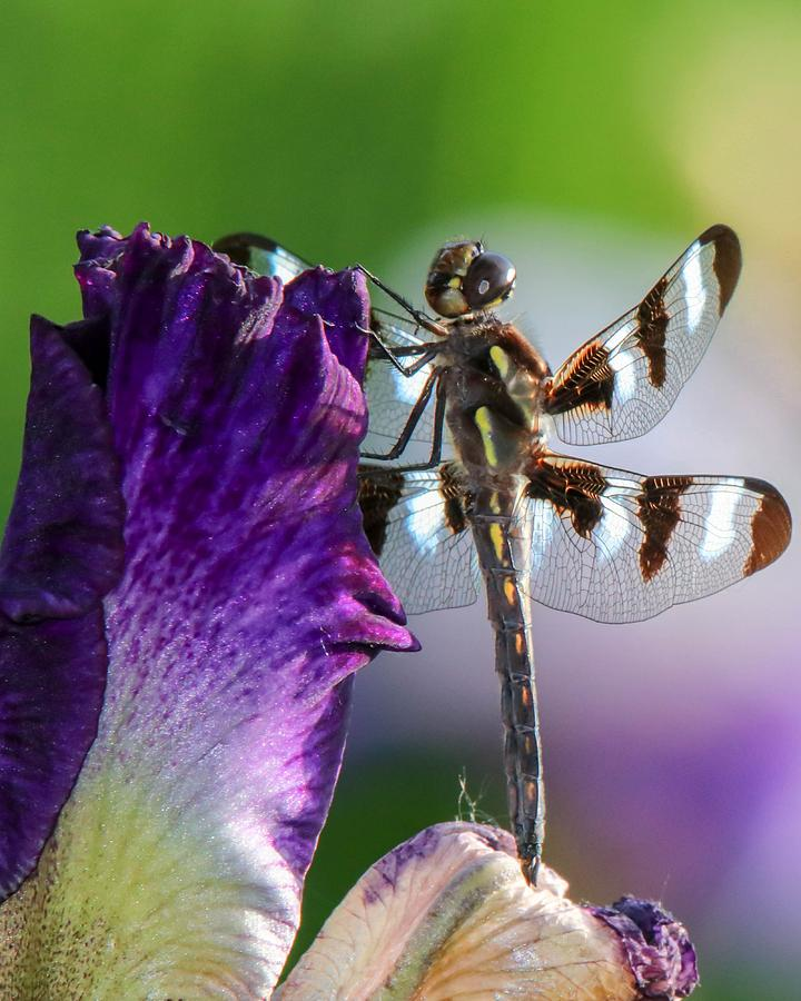 Dragonfly on Iris by Susan Rydberg