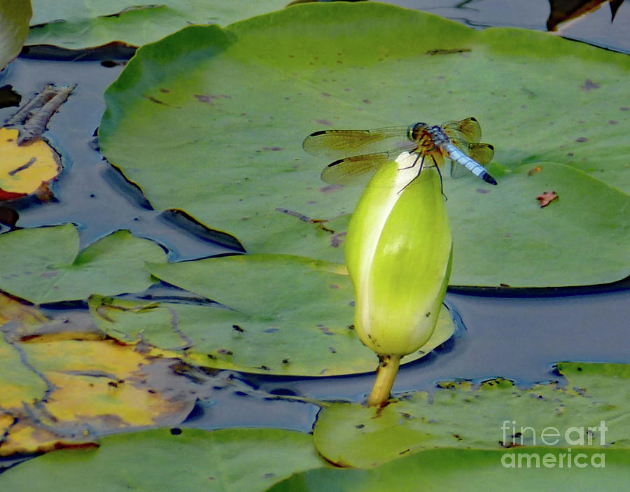 Dragonfly on Liliy Bud by PJ Boylan