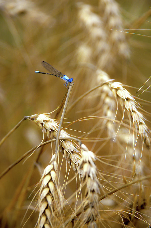 Dragonfly on Wheat by Jeff Phillippi