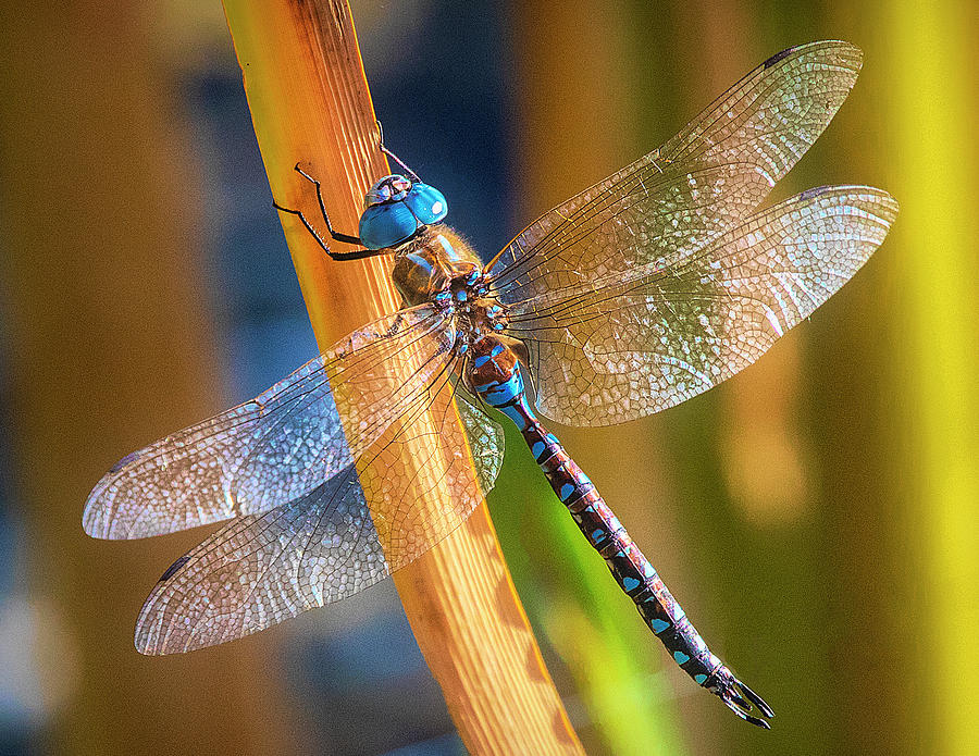 Dragonfly Perched on Stem by Lowell Monke