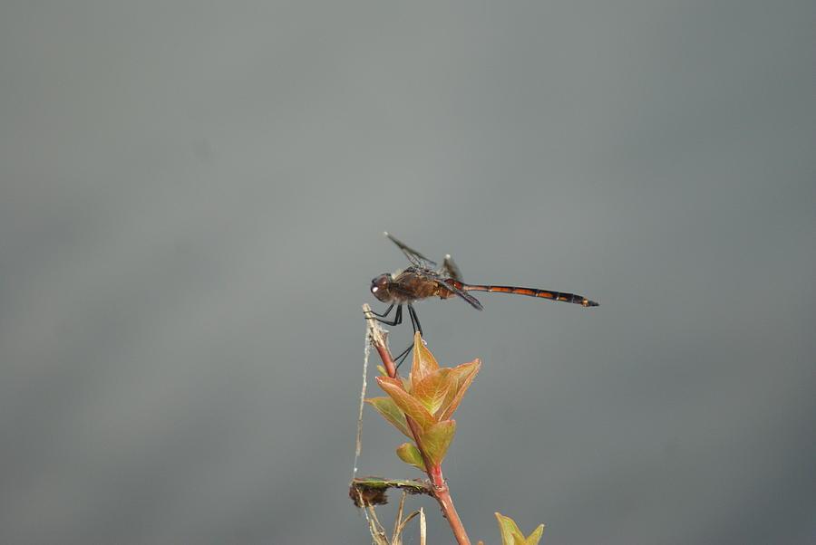 Dragonfly by Stephanie Pieczynski