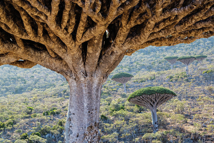 Dragons Blood Trees Growing In Arid Photograph by Pixelchrome Inc