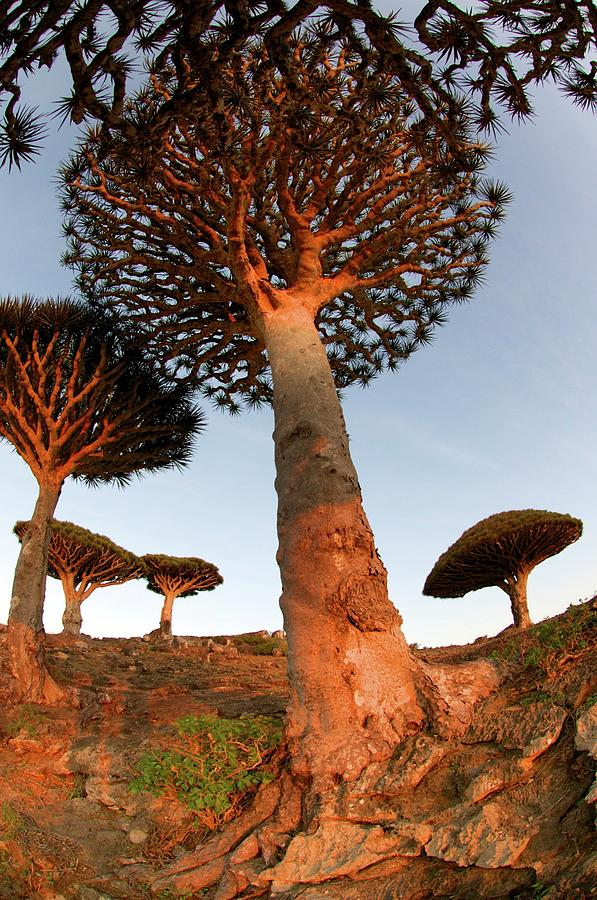 Dragons Blood Trees Photograph by Trevor Cole Alternative Visions Photography