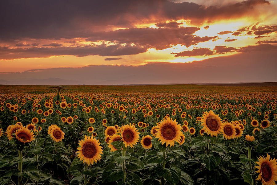 Dramatic Colorful Sunset Over Colorado Sunflowers by Teri Virbickis