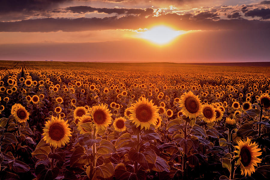 Dramatic Sunset of Sunflower Fields by Teri Virbickis