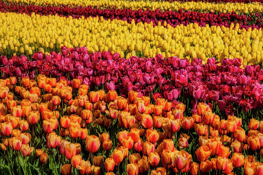 Tulip Photograph - Dreaming Of Endless Colorful Tulips by Garry Gay