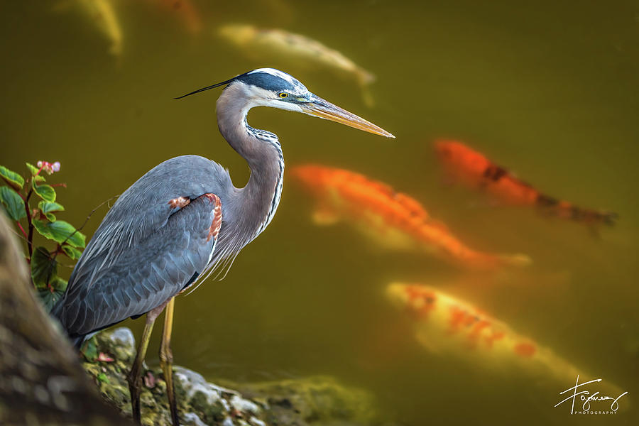 Dreaming Tricolor Heron by Francisco Gomez